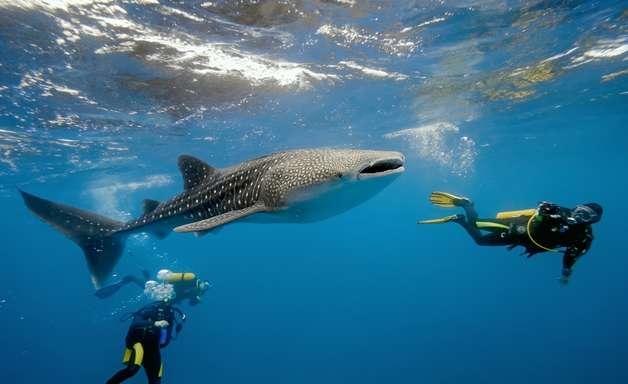 Descubra cinco pontos de mergulho com tubarões no Caribe
