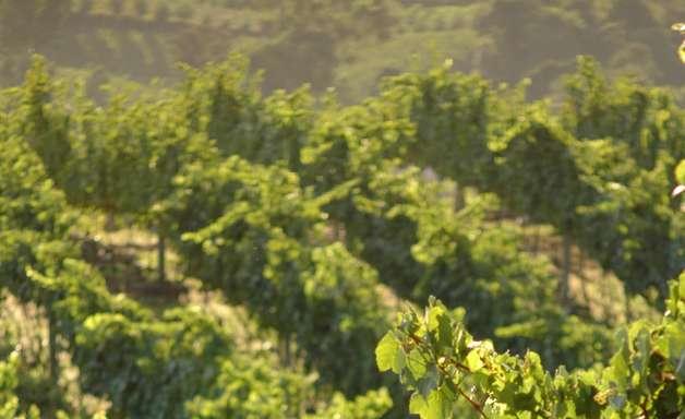 Conheça a história do vinho brasileiro e confira opções