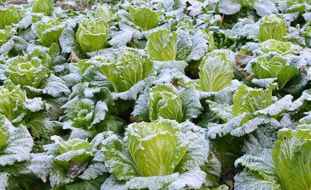 Técnicas auxiliam produtor a cultivar em baixas temperaturas