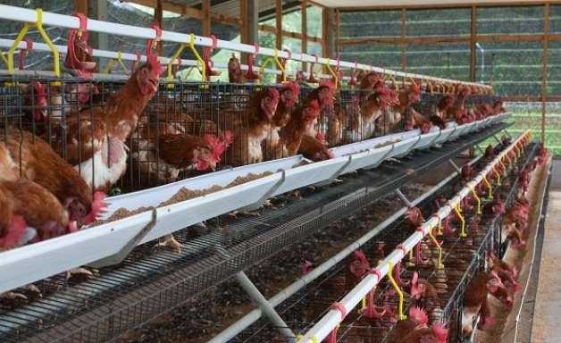 Sobe a receita de exportações na avicultura, mas volume cai