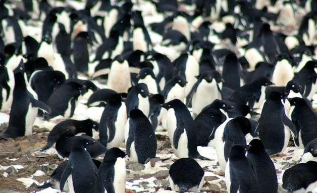 Imagens do espaço revelam supercolônia desconhecida com 1,5 milhão de pinguins na Antártida