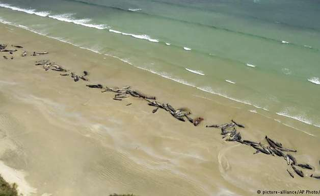 Mais de 140 baleias morrem encalhadas na Nova Zelândia