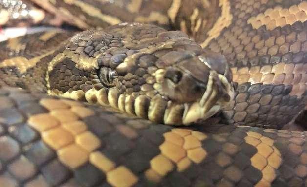 Cobra encontrada com 511 carrapatos passa por tratamento para anemia na Austrália