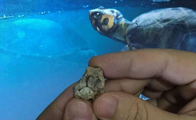 Fóssil revela mini-tartaruga que viveu com dinossauros em SP
