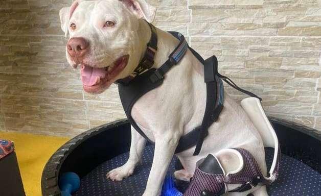 Cão que foi torturado e inspirou criação de lei contra maus-tratos volta a andar com prótese