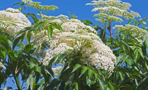 Sabugueiro, a planta que alivia os sintomas da gripe