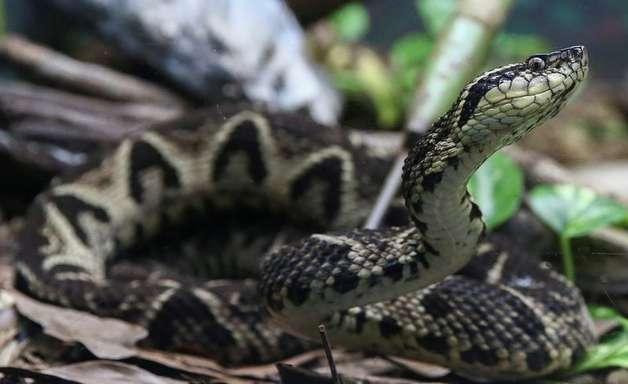 Molécula em veneno de cobra inibe reprodução do coronavírus