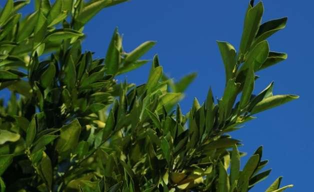 Produto biológico é um aliado do citricultor para proteger os pomares do cancro
