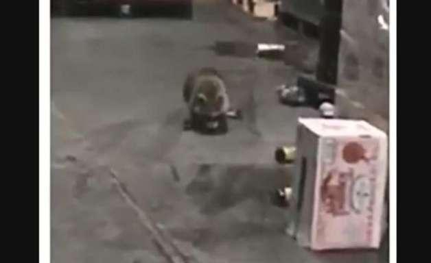 Guaxinim invade depósito, bebe cerveja e fica 'bêbado'