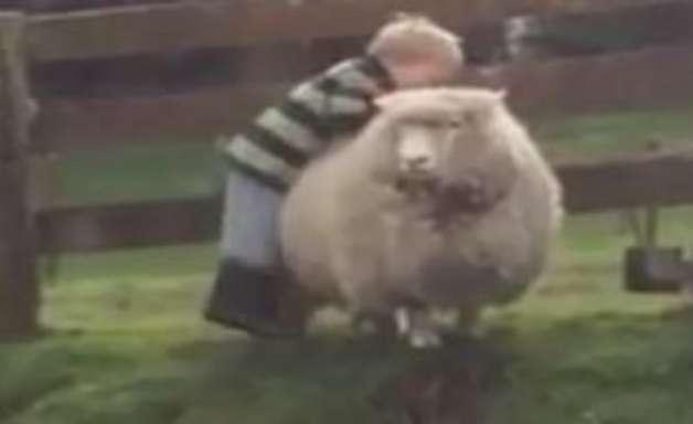 Menino tenta montar em ovelha e leva a pior