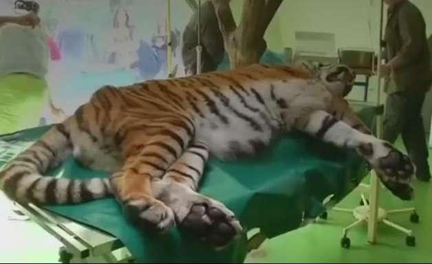 Tigre recebe tratamento com células-tronco para aliviar dor