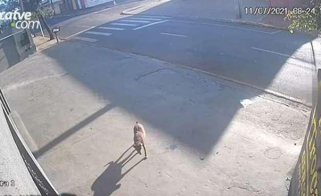 Veja: Pitbull ataca cachorra em Apucarana