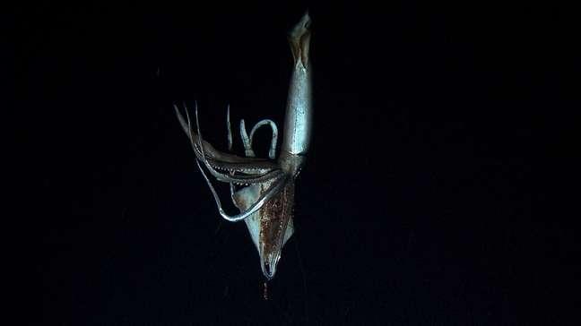 O animal tem cerca de três metros de comprimento, embora não tenha seus dois tentáculos mais proeminentes, por isso que se acredita que originalmente podia medir oito ou nove metros.