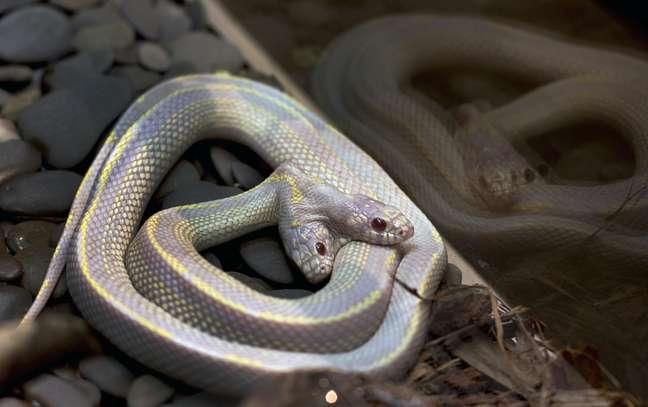 A chance de ocorrência de uma cobra com duas cabeças é de uma e um milhão