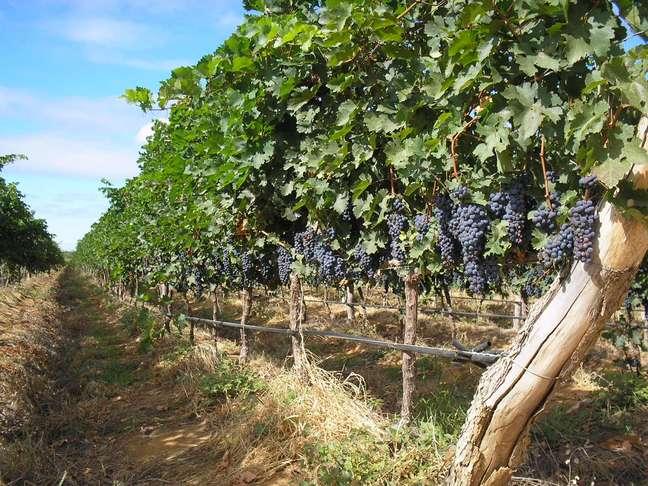 <p>A indústria nacional de vinhos ainda está em evolução</p>
