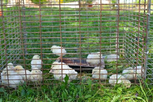 Frango vivo perde importância no Brasil e corresponde somente a 3% da avicultura nacional