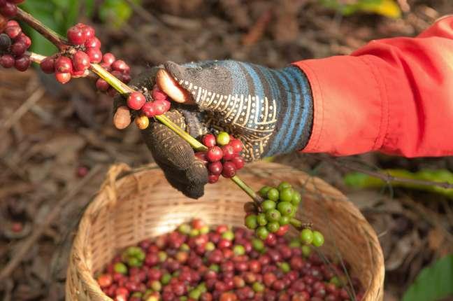 Gradativamente, colheita manual do café vem sendo substituída por sistemas mecanizados no Brasil