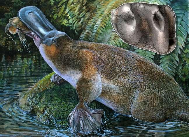 <p>Ilustração mostra o <em>Obdurodon tharalkooschild</em>, ornitorrinco com dentes que permitiam ao mamífero comer presas (como a tartaruga) que a espécie atual não consegue: descoberta reescreve árvore evolutiva</p>