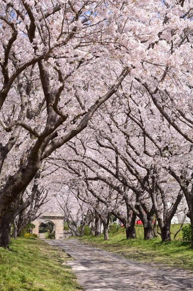 A época mais bonita para visitar o Japão é na primavera - nos meses de março a maio -, onde as famosas cerejeiras estão florescidas