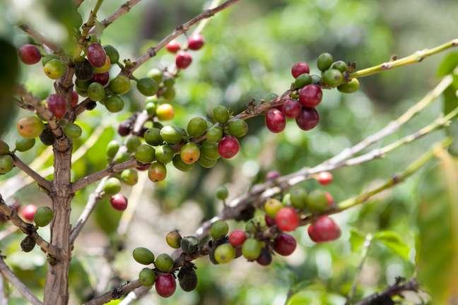 Apesar de ser o maior produtor de café do mundo, Brasil apresenta redução de 17,10% nos ganhos com exportação