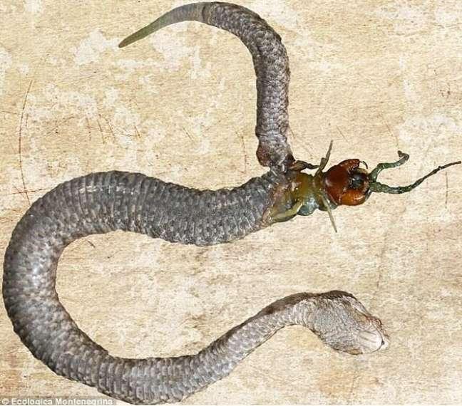 <p>A centopeia não resistiu à luta com a cobra e morreu</p>