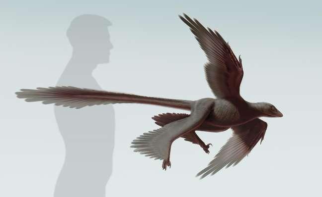 <p>Changyuraptor é o maior dinossauro de quatro asas já descoberto com mais de 1,3 metro</p>