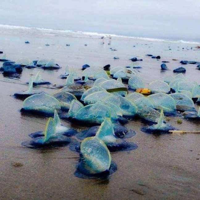 <p>Ninguém sabe ao certo porque esses animais têm sido encontrados nas areias da Califórnia</p>