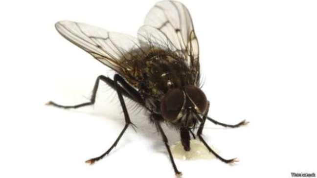 <p>Acredita-se que as moscascarreguem tantos patógenos porque se alimentam de substâncias líquidas ou semilíquidas - muitas vezes fezes</p>