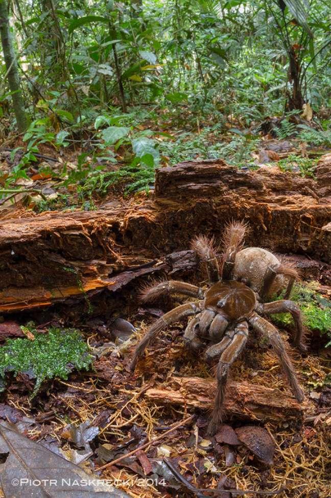O cientista encontrou a aranha em floresta na Guiana
