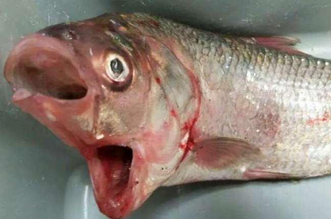 O pescador Garry Warrick achou o animal bizarro no Lago Bonney, sul australiano