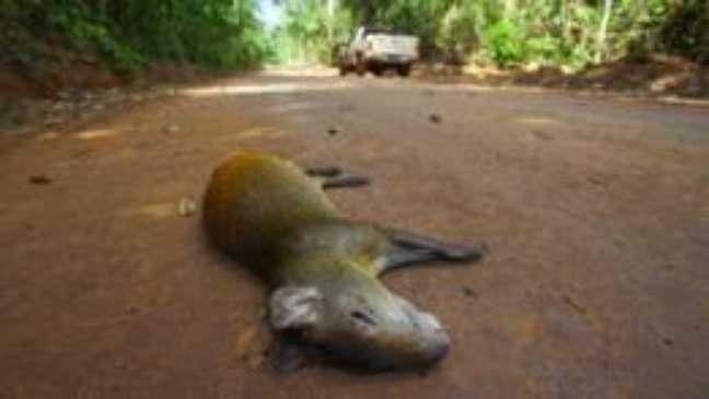 Cotia atropelada em estrada de terra dentro da Floresta Nacional de Carajás, no Pará