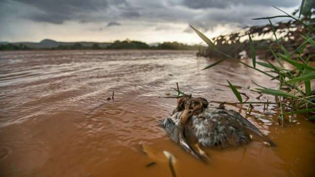 Marreco-pé-vermelho morto no rio Doce após a passagem da lama; equipe havia passado pelo mesmo local antes da chegada dos resíduos e observado aves vivas