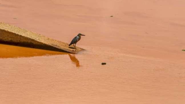 Socozinho esperando peixe onde já havia pouco para pescar. Sem alimento, destino de fauna é incerto