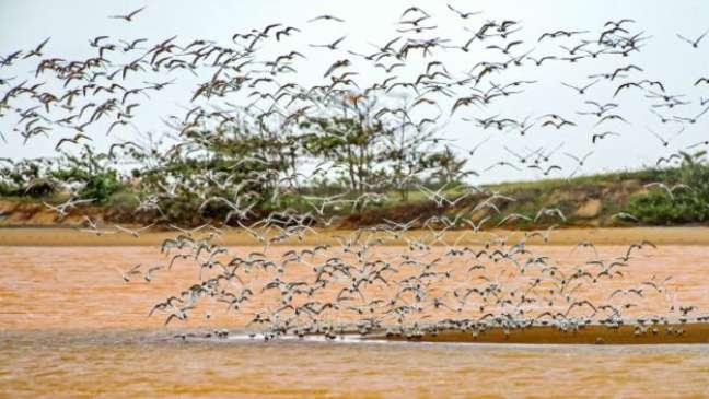 Andorinhas-do-mar voando em meio à água tomada pelos resíduos. Algumas dessas aves já são encontradas mortas pela região