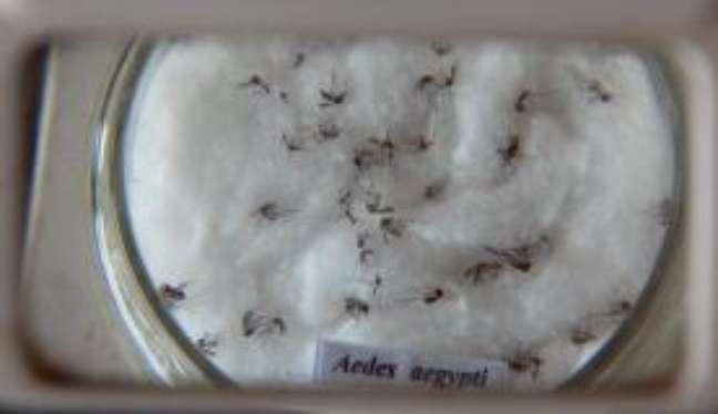 Vírus Zika é transmitido pelo mosquito Aedes aegypti