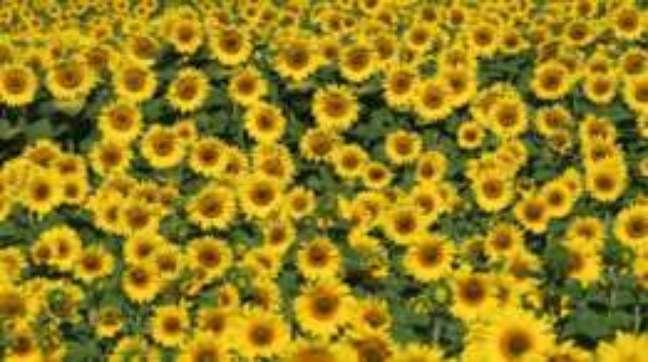 O heliotropismo favorece o crescimento das flores