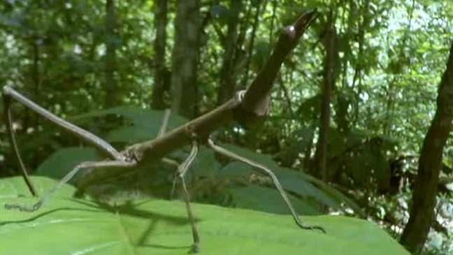 Inseto que se parece com um galho é uma ameaça à árvore que hospeda as formigas