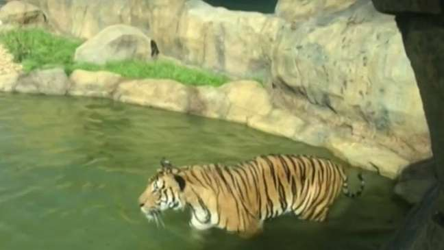 Um tigre no zoológico