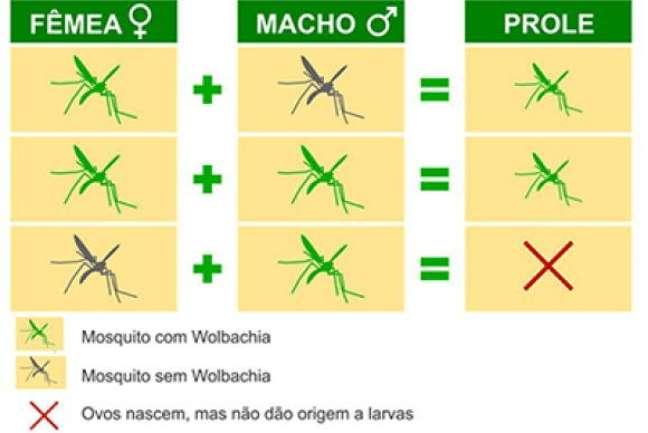 Fêmeas de mosquitos com Wolbachia sempre geram filhotes com Wolbachia