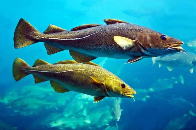 Este é um dos Gadus morhua que vira bacalhau