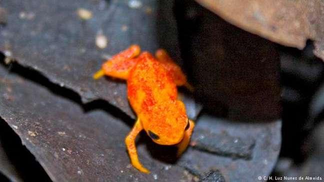 Sapo da espécie Brachycephalus pitanga tem cerca de dois centímetros e pele alaranjada