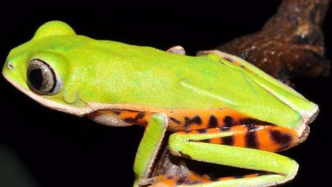 Pithecopus araguaius foi identificada no Mato Grosso por pesquisa de campo que começou em 2010 (Foto: Divulgação)