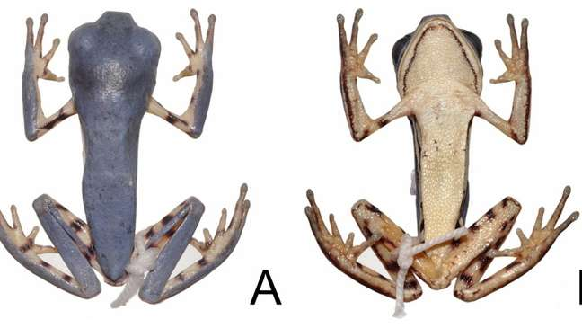 Perereca recém-descoberta se diferencia de suas irmãs por tamanho menor da cabeça e do corpo e diferenças no padrão de manchas; acima, registro dos cientistas dela vista de cima e de baixo (Foto: Divulgação)
