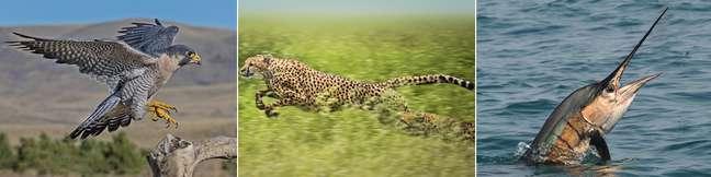 Falcão, guepardo e peixe-agulhão são animais mais rápidos no Ar, em Terra e na Água.