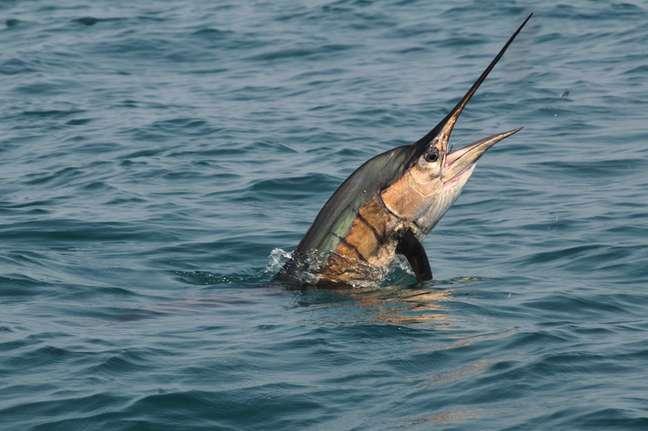 Peixe-agulhão