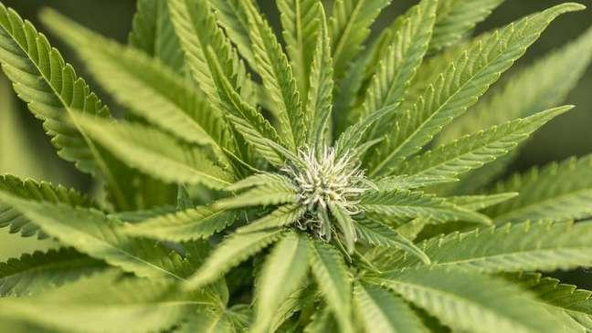 Intoxicação por Cannabis em animais é frequente, apesar de cultivo ser proibido no Brasil