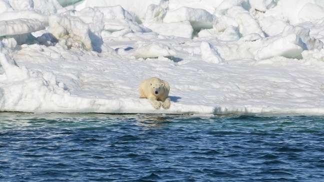 Ursos polares usam o gelo que flutua sobre o mar para caçar e, à medida que ele diminui, eles têm maior dificuldade para se alimentar   Foto: Anthony Pagano/USGS