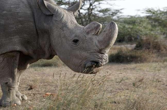 Rinoceronte-branco do norte Sudan é visto na entidade Ol Pejeta Conservancy em Laikipia, no Quênia 18/06/2017 REUTERS/Thomas Mukoya