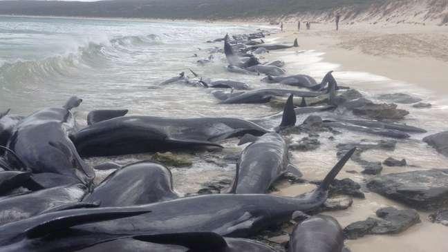 Baleias foram encontradas primeiro por pescador em praia da Austrália