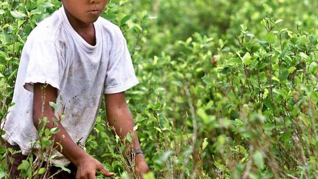 O cultivo da folha de coca se multiplicou a níveis sem precedentes na década de 90 na Colômbia